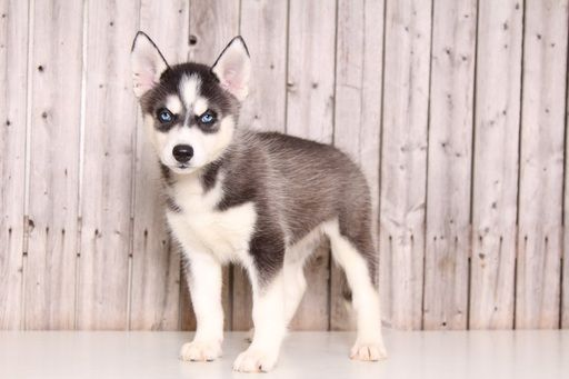 Siberian Husky puppy for sale in MOUNT VERNON, OH. ADN-52098 on PuppyFinder.com Gender: Female. Age: 8 Weeks Old