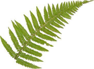 fern leaf(http://hd-fractals.com 2013)