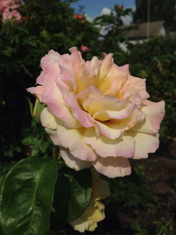 A stunning beauty she is: The Peace rose, correctly Rosa 'Madame A. Meilland'.