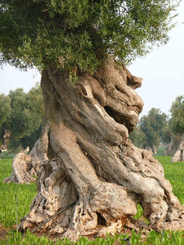 Panoramio - Photo of secular Olive Tree