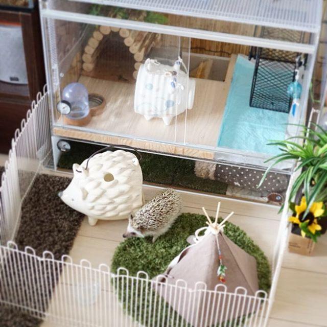 今日は庭付き一戸建て。  #hedgie #hedgehog #ハリネズミ #はりねずみ #pet #刺猬 #ふわもこ部 #玻璃