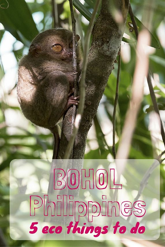5 things to do in Bohol, Philippines - 5 eco adventures, from meeting tarsiers to diving and chocolate hills!