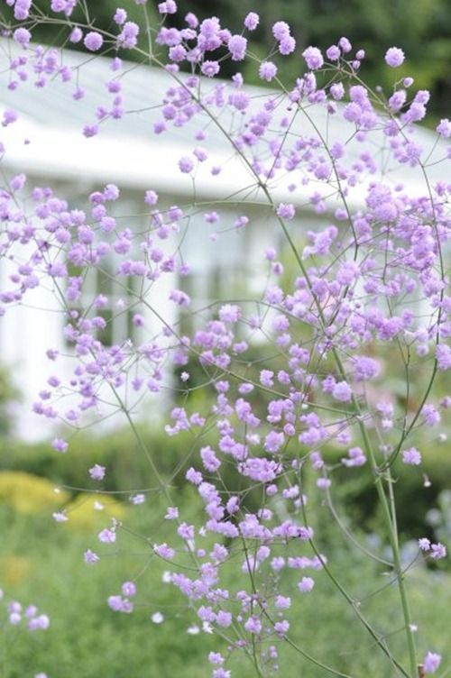 Thalictrum 'Hewitt's Double - I have this perennial in my garden.  It's been a favorite for years.  This photo is gorgeous, but it actually doesn't do it justice.  ~ Great pin! For Oahu architectural design visit http://ownerbuiltdesign.com