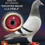 "115 - B17-6256155 ""DOCHTER MILOS x LA PERLA"" ♀   De Duif"