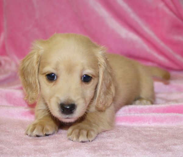 dachshund puppy for sale near jacksonville north carolina les 25 meilleures id 233 es de la cat 233 gorie dachshund breeders 1374