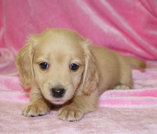 Baby english cream mini dashund