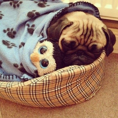 Sleepy Pug with his little stuffed penguin friend to cuddle with <3