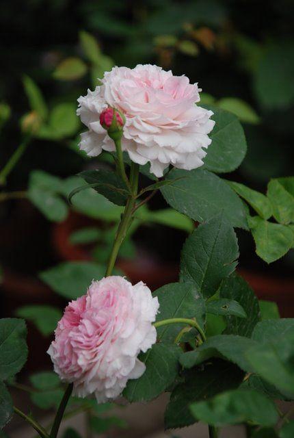 'James Galway' | Shrub. English Rose Collection. David C. H. Austin, 2000 | Flickr - ©romains' flower