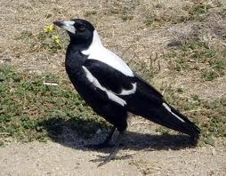 australian animals - Magpie...causes walkers and cyclists to wear crazy headgear as protection in September, due to nest protection.
