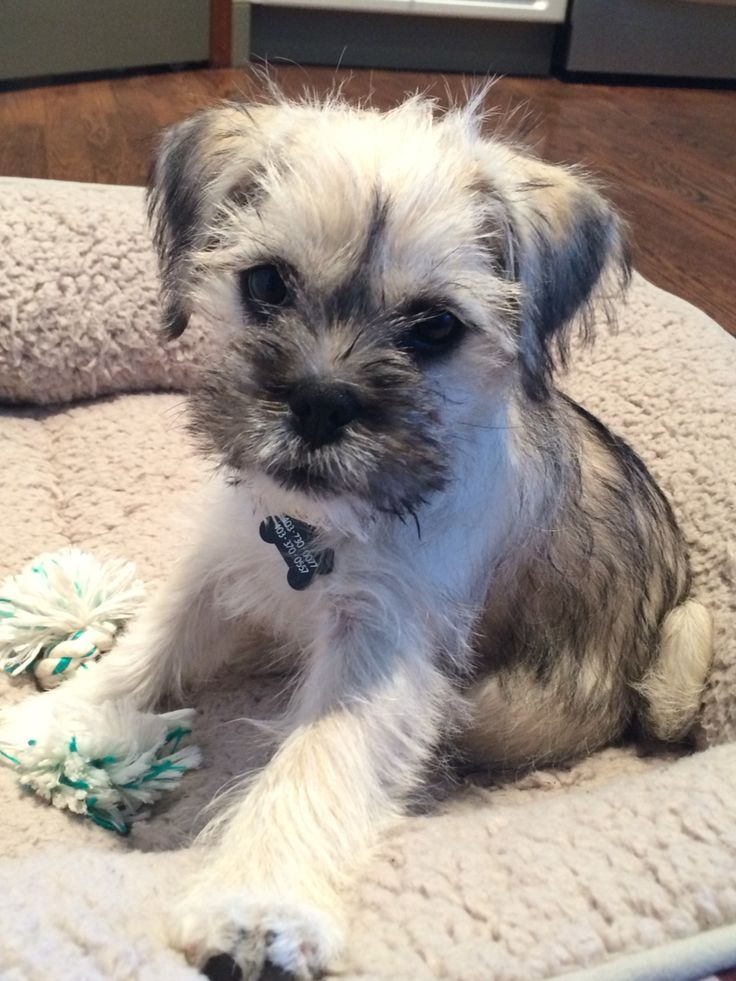 pug mixed puppies 16 best schnauzer pug 3448