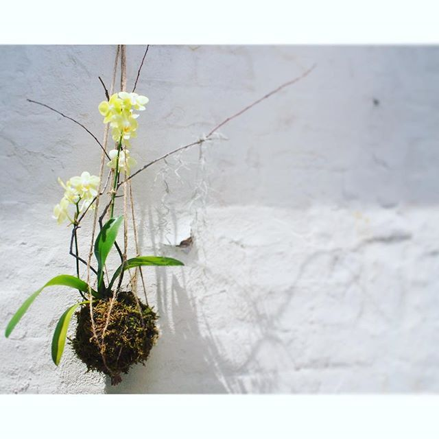 Bloodwood Botanica | Orchid Kokedama   Oh hello sun ☀️ Yellow hanging orchid sculpture