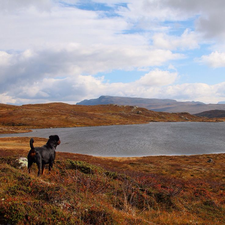 Stoneweilers Cæsar. Filefjell, Norway