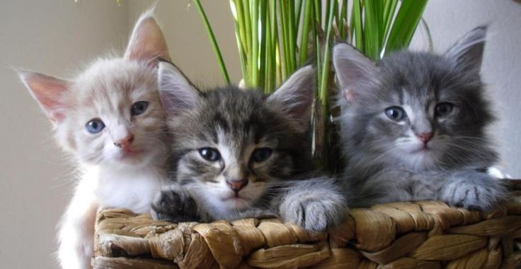 schöne katzen | ... schönen Farben Papiere Gesun Katzen Rassekatzen Norwegische Waldkatze