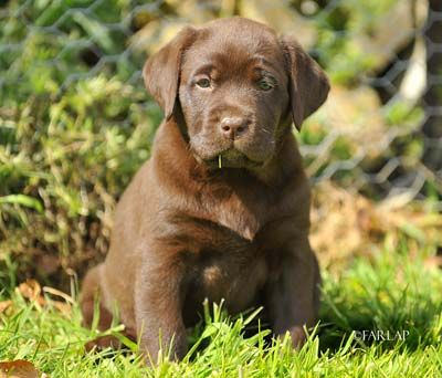 Google Image Result for http://www.lewtrenchard-labradors.co.uk/Tiggy-grass.jpg