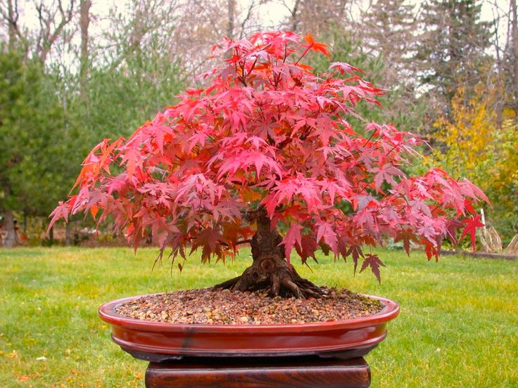 Japanese Red Maple Bonsai Tree Grow Your Own Tree Office Decor 5 Seeds (4.99 USD) by CheapSeeds