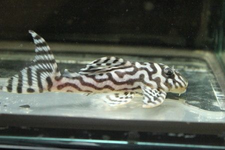 ... sp. L250 (Isomorphic) Photos of Freshwater Tropical Fish Pinterest