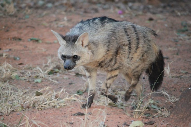 African fox,  South Africa