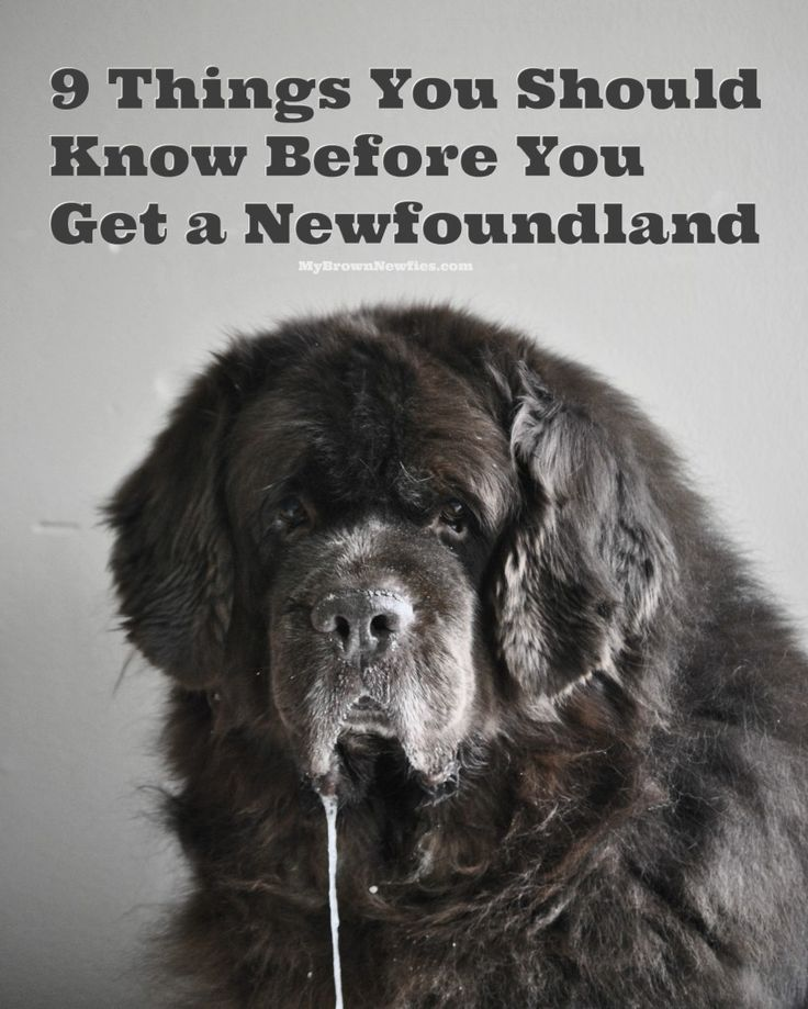 What Can I Do With My Newfoundland Dog