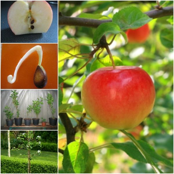 How to grow apple trees from seed ? LOVE it.  #DIY #apple #gardening