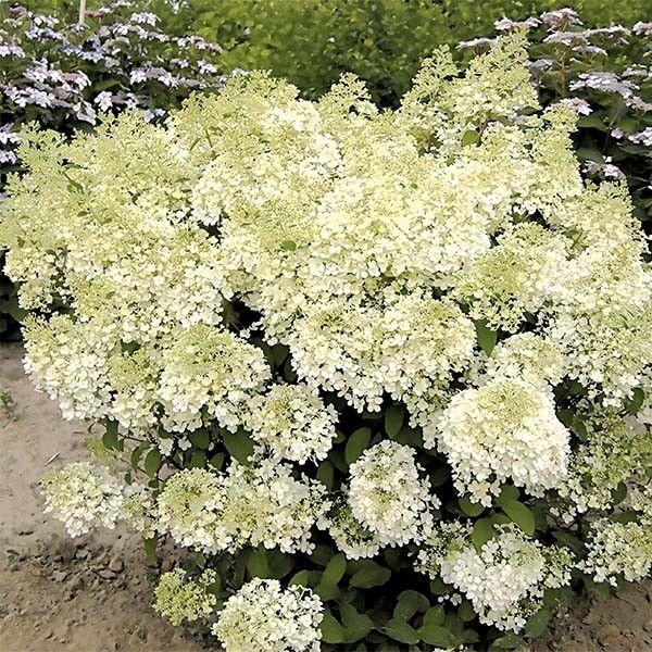 L'Hydrangea paniculata Bobo - Une toute nouvelle variété florifère et compacte pour terrasses et petits jardins.