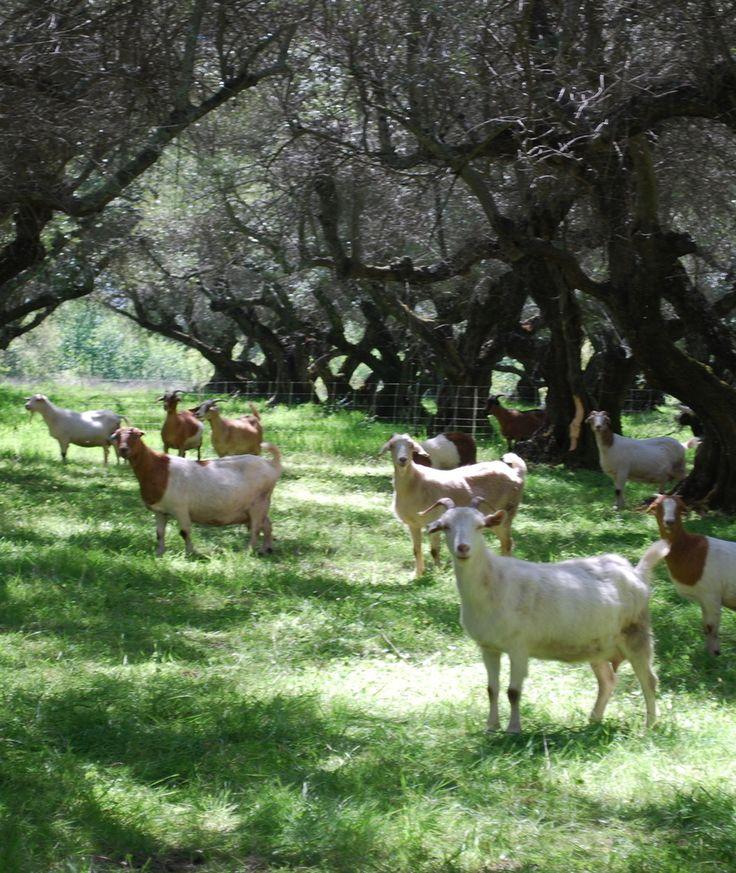 778 Best Goat Farm Images On Pinterest: 15 Best Goat Farm Planning Images On Pinterest