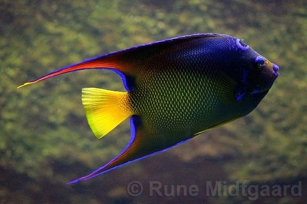 17 best images about fish tank on pinterest saltwater for Queen angel fish