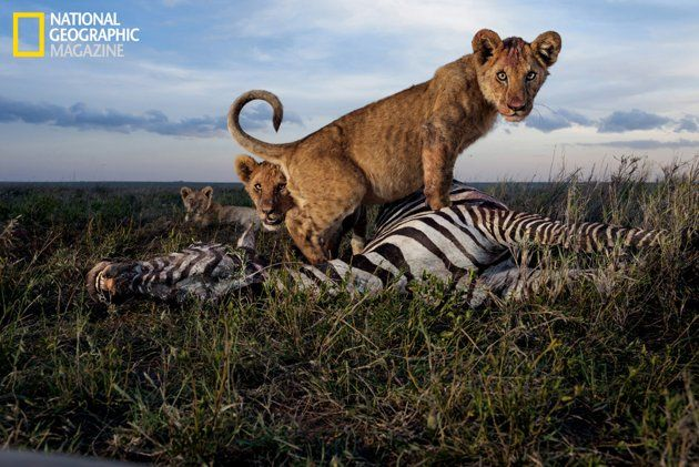 """The August issue of National Geographic magazine features an in-depth look at lions. Photographer Michael """"Nick"""" Nichols spent over 2 years in the field for this assignment, living in the Serengeti to capture one-of-a-kind photos of lion behavior."""