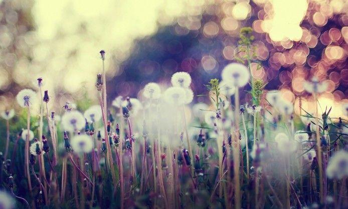 macro, dandelions, bokeh lights, plant, grass, photo, nature, hd, wallpaper