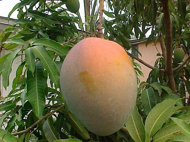 How to Prune a Mango Tree: Fruit Products, Yard, South Africa, First House, Currently, 640 480 Pixel, Mango Trees, Mango Fruit, The Roller Coasters