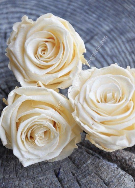 Roses stabilisées Coloris Champagne