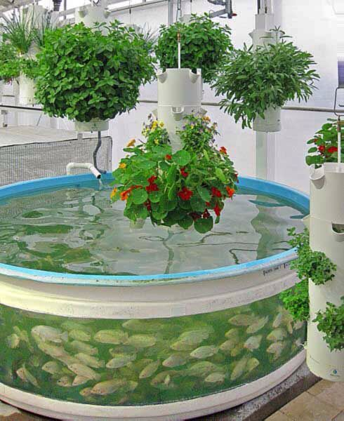 Aquaponic system with blue tilapia and hanging plants ('The Lab' Orlando, FL)