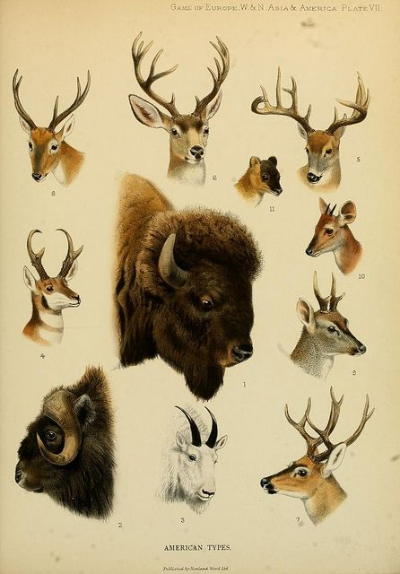 : Small Games, Animal Drawings, Europe, Northern Asia, Deer Tattoo, Antlers Art, American Types, Scientific Illustrations, Photo