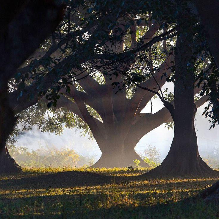 Frequentemente o galho é quebrado da árvore por aquele que descansou à sua sombra. -- provérbio birmanês  Foto: árvore banyan ao nascer do sol em Pindaya Mianmar. Clicada por Ian Parker.  As banians são figueiras que crescem em em outras árvores ou em rachaduras e frestas de construções e pontes. É a árvore nacional da Índia e possui significado especial em todo o sul da Ásia conhecida também como figueira da Índia ou figueira de Bengala.  Podendo viver séculos e estar em contínuo…