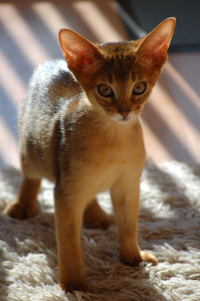 Abyssinian kitten, posted via mostlycats.mostly.tumblr.com