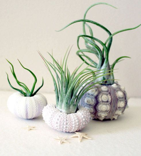 Absolutamente original!Plants Container, Sea Shells, Plants Urchins, Air Plants, Sea Urchins, Gardens, Mixed Trio, Cool Ideas, Seashells