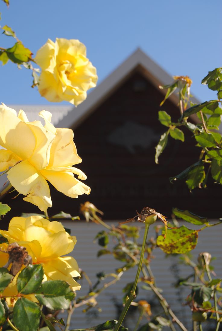 Roses at Upper Reach Winery. Swan Valley.Photo by Judith Ann.www.beautifulwriting.com.au