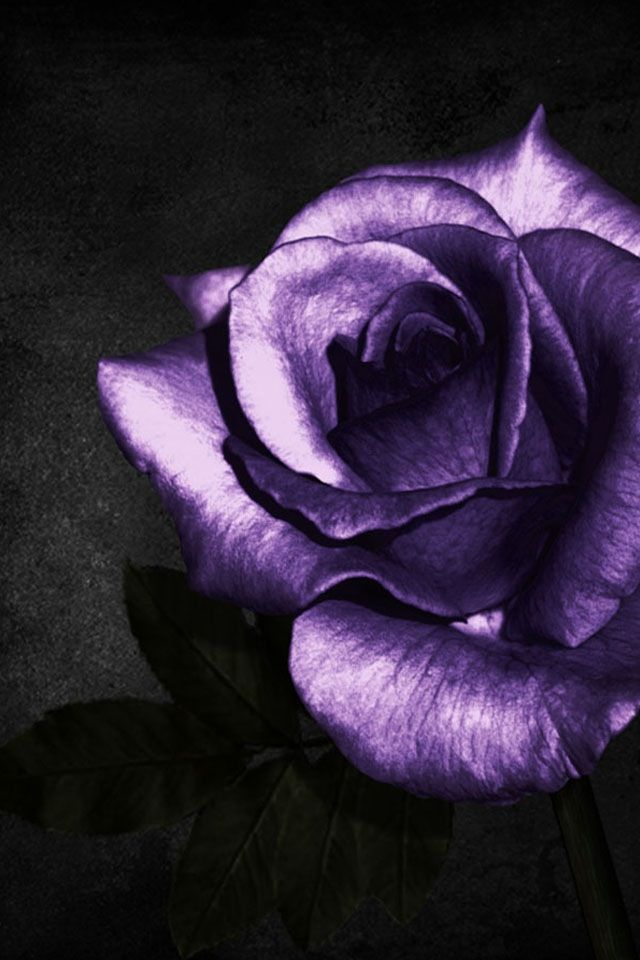 Purple Roses Background Images: 53 Best Images About Beautiful Purple Roses On Pinterest