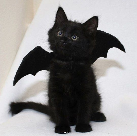 Bat Wings For Cats Uk