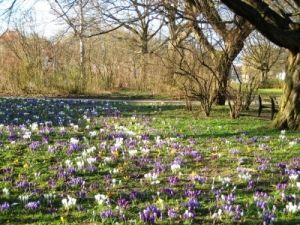 Krokusse pflanzen – Krokusse sind nicht nur Frühlingboten