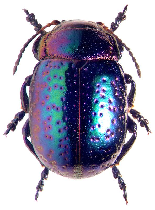 Chrysomelidae:  Chrysolina perforata perforata,   Lots of these nice images at the site, just click on this link.  http://www.zin.ru/animalia/coleoptera/eng/smirnew5.htm