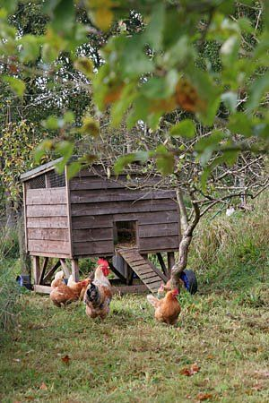 The chicken coop out near the orchard doesn't have snow anywhere. Good. Maybe Spring is here.................