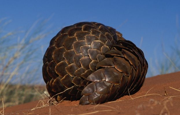 9 amazing pangolin facts   Discover Wildlife   The word 'pangolin' comes from the Malay word 'penggulung', which means 'one that rolls up'. When it is threatened a pangolin will curl itself into a tight ball, which is impenetrable to predators