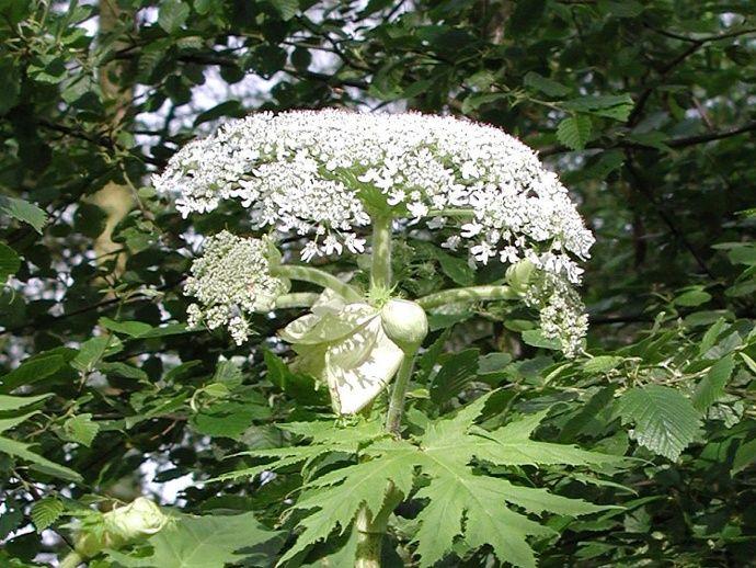 Herkulesstaude (Heracleum mantegazzianum) - Giftpflanze des Jahres 2008