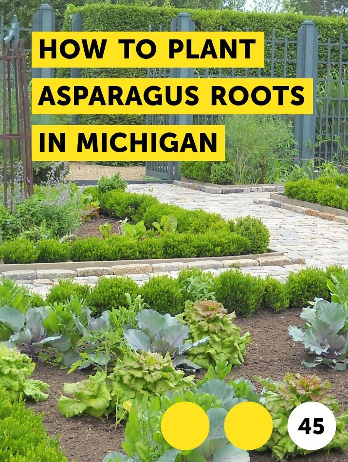 Learn How To Plant Asparagus Roots In Michigan How To Guides Tips And Tricks Plants Strawberry Plants Asparagus Plant