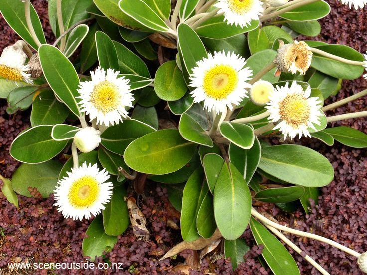 Pachystegia insignis Marlborough rock daisy, Kaikoura rock daisy, rock tree daisy Great flowering native for dry spots