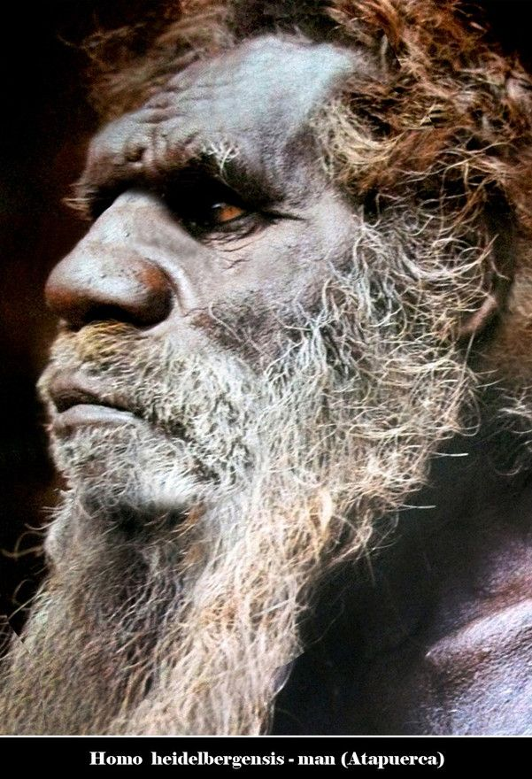 Both H. antecessor and H. heidelbergensis are likely to be descended from the morphologically very similar Homo ergaster from Africa. But because H. h...