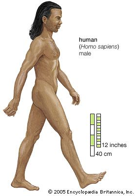 "Homo sapiens, ( Latin: ""wise man"") the species to which all modern human beings belong. Homo sapiens is one of several species grouped into the genus Homo, but it is the only one that is not extinct. See also human evolution."