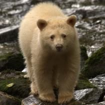 Spirit Bear Lodge  Wildlife, Bear Watching Tours and Native Culture in BC's Great Bear Rainforest