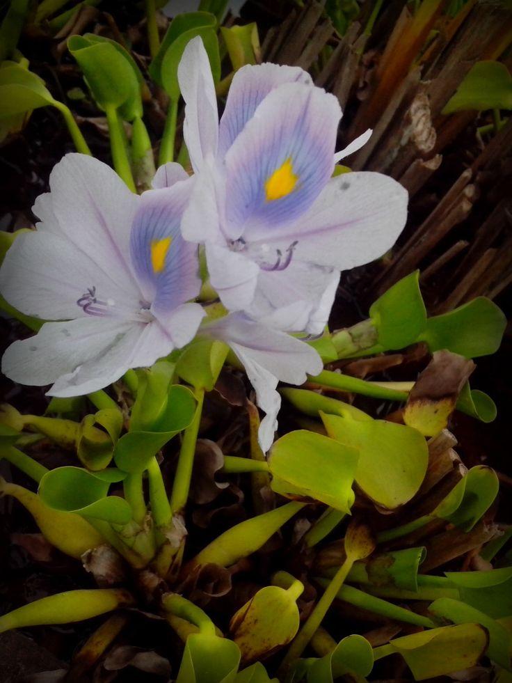 beautiful flower of eichhornia crassipes. eceng gondok!
