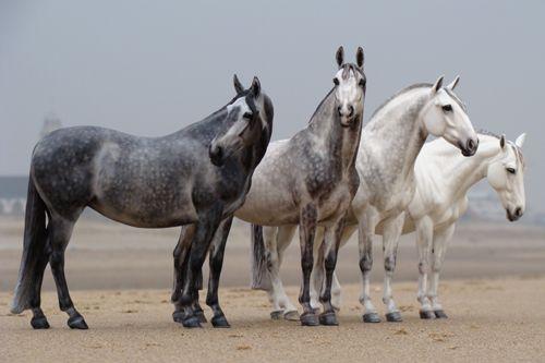 4 Spanish mares (Cobra set)  Sculpted by Brigitte Eberl  Painted by Josine Vingerling
